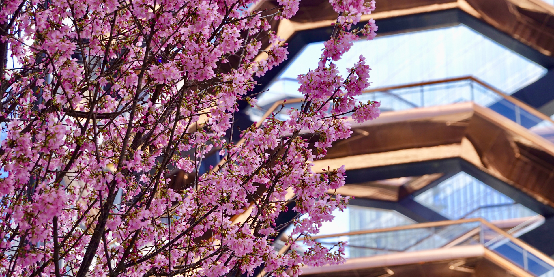 Cherry blossom spring at Hudson Yards